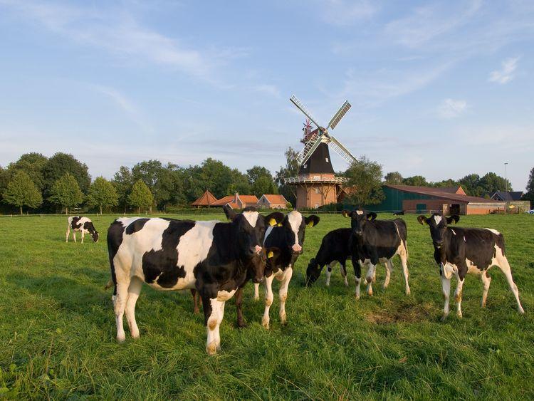 Kühe stehen vor der Mühle in Rhauderfehn, Südliches Ostfriesland.